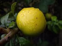 Malus Golden Treat apple  from Greenleaf Nursery and Garden DebutGarden Debut