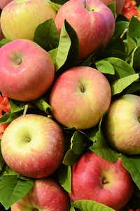 "Fuji apples Close-up of bouquet made mosrtly of red fuji apples(<p><span style=""font-size: 1em; background-color: transparent;"">The Davey Tree Expert Company</span><br></p><p></p>)"