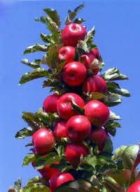 Malus Tasty Red apple from Greenleaf Nursery and Garden Debut(Garden Debut)