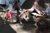 Kayla Highsmith (top right) and Susannah Woodruff stopped to pet Abby, a pit bull whose handler was offering kisses from her for $1, during a previous Texas Veggie Fair.  (Rex C. Curry/Special Contributor)(Special Contributor)