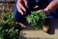 Daniel Cunningham forages for edible stems and leaves of purslane.(Ben Torres/Special Contributor)
