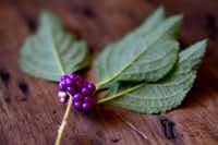 American beautyberry(Ben Torres/Special Contributor)