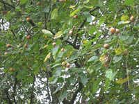 "American persimmon(Mark ""Merriwether"" Vorderbruggen/ForagingTexas.com)"