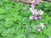 "Wood sorrel(Mark ""Merriwether"" Vorderbruggen/ForagingTexas.com)"