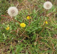 "Dandelion(Mark ""Merriwether"" Vorderbruggen)"