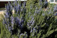 Rosemary can be planted as a good replacement for drift roses.(Howard Garrett)