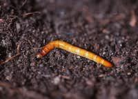 "<p><a href=""https://www.dirtdoctor.com/garden/Wireworm_vq802.htm"" style=""font-size: 1em; background-color: transparent;"">Wireworms</a><span style=""font-size: 1em; background-color: transparent;""> are the larvae of click beetles.</span></p>(Howard Garrett)"