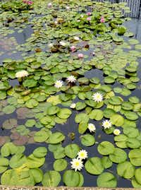 A rotating selection of water lily varieties from all over the world at the International Water Lily Garden reflects just half of one person of Ken Langdon's collection. You don't expect to find it in San Angelo, but that's where it is. (Helen Anders)