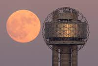 The Supermoon alongside Reunion Tower in downtown Dallas, Sunday evening, November 13, 2016. (Tom Fox/The Dallas Morning News)(Staff Photographer)