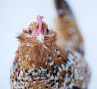 "A chicken named ""Goldie"" stands for a portrait while eating mealworms in the backyard of Mariana Greene's home in Dallas.((Andy Jacobsohn/Staff Photographer))"