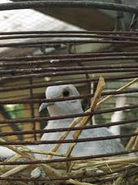 Tiny, white diamond doves in Mariana Greene's chicken run in Dallas.((Mariana Greene))