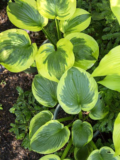 How To Keep Slugs And Snails Away From Your Hostas Gardening Dallas News