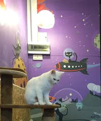 Catmosphere cat cafe in Chiang Mai, Thailand(Kim Foley MacKinnon)