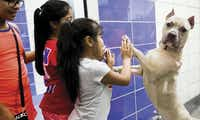 "Julianne Hernandez greeted a dog named Mushu at the SPCA of Texas as the doors opened for adoptions Oct. 17. Dallas Cowboys running back Ezekiel Elliott was sponsoring a $21 ""Run to the Shelter""€ adoption day.(Smiley N. Pool)"