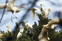 Cattle egrets nested at Wintergreen Road and Clark Road in Cedar Hill on June 14.(Nathan Hunsinger)