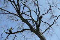 Foreman Miguel Pastenes, who works for Arborilogical Services, was perched in a pecan tree near Fernald Avenue and Dixfield Drive in Dallas on March 3. In April, Pastenes placed second in his category in the International Tree Climbing Competition in San Antonio.(Andy Jacobsohn)