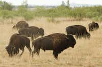 Southern Plains bison graze on their 700-acre expanded range of restored native prairie at Caprock Canyons State Park, near Quitaque. Visitors have close-up views of the descendants of legendary Panhandle rancher Charles Goodnight's historic herd, which was introduced to the park in 1988. (Texas Parks and Wildlife)