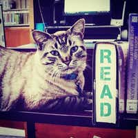 Browser is the resident cat at the White Settlement Public Library.((Facebook/White Settlement Public Library))