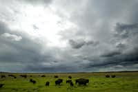 2005 FILE PHOTO -- Syncrude Canada Ltd. manages a 300 head wood bison herd as part of their reclamation program which aims to return the land used for mining back to its original state. Aboriginal communities are also consulted in matters relating to environmental practices.(Lara Solt/Staff photographer)