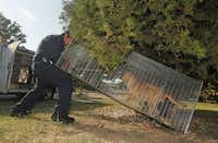 Dallas Animal Services control officer Esteban Rodriguez puts a loop around a stray dog that was trapped in Southwest Dallas. (Michael Ainsworth/The Dallas Morning News)