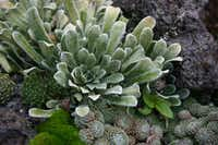 Succulents come in many shapes and colors.(Ann McCormick)