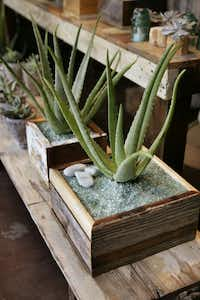 Aloe in handmade box at DIRT in Oak Cliff.