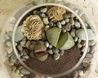 Terrarium with lithops