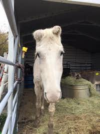 "Bubbles (<p>(<span style=""font-size: 1em; background-color: transparent;"">Becky's Hope Horse Rescue/Facebook)</span></p><p></p>)"