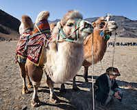 "Nomadic Expeditions offers an opportunity to ride a camel through Mongolia'•s Gobi Desert.<p><span style=""font-size: 1em; background-color: transparent;"">Nomadic Expeditions</span><br></p><p></p>"