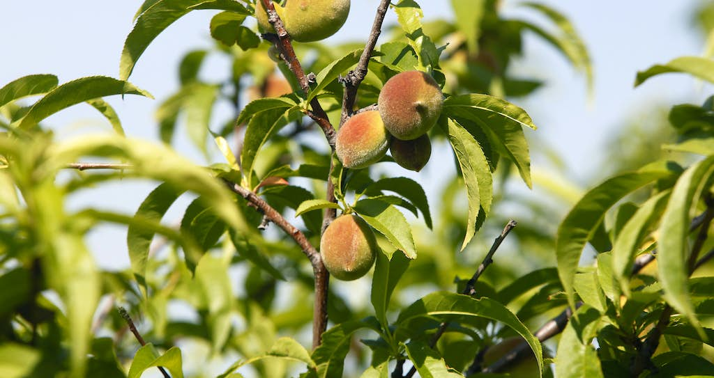 Here S How To Properly Plant A Fruit Tree In Clay Soil Gardening Dallas News