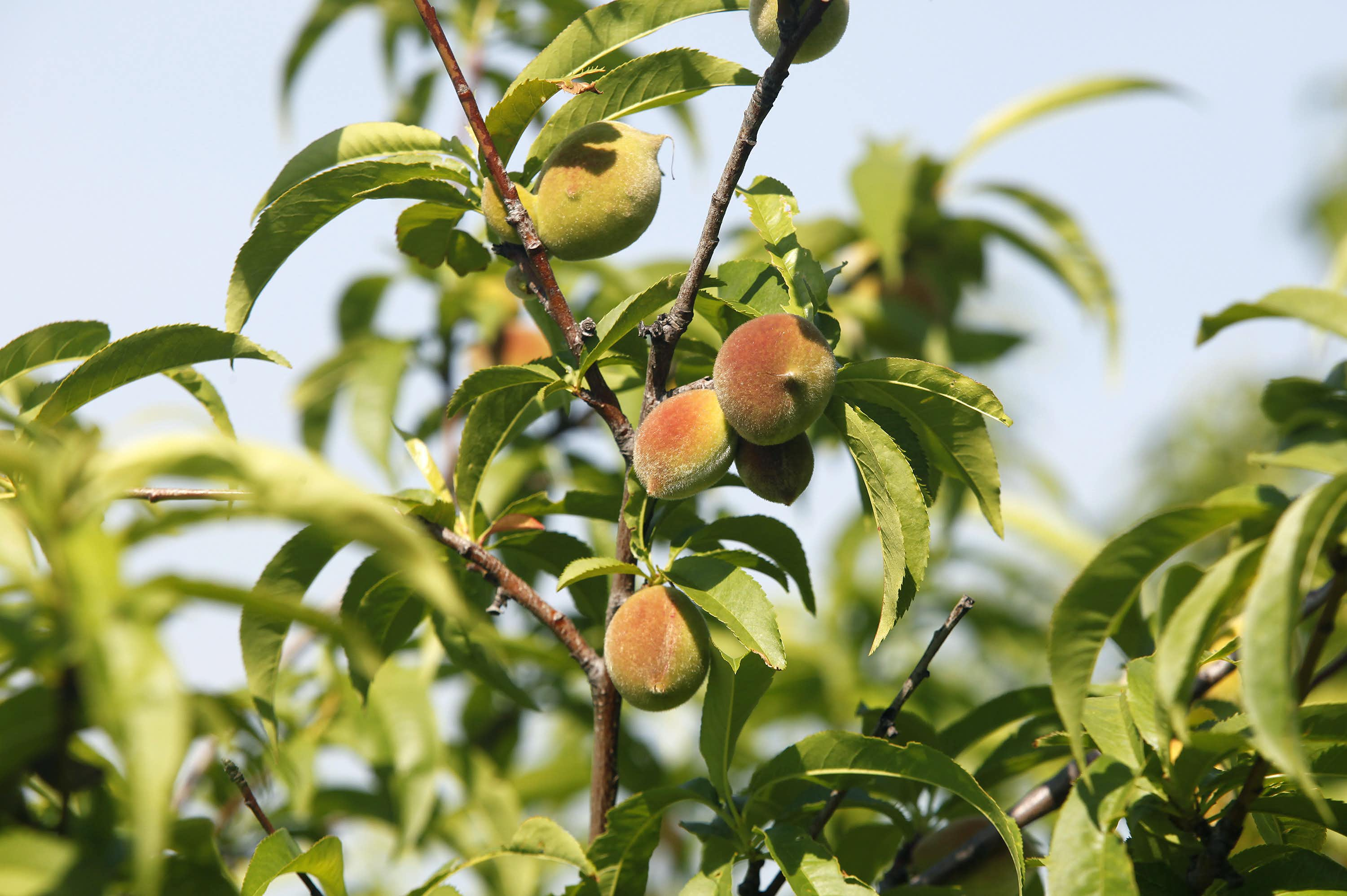 Here's how to properly plant a fruit tree in clay soil