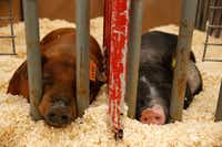 Two pigs get some rest at the Collin County Junior Livestock Show (Nathan Hunsinger/Staff Photo)
