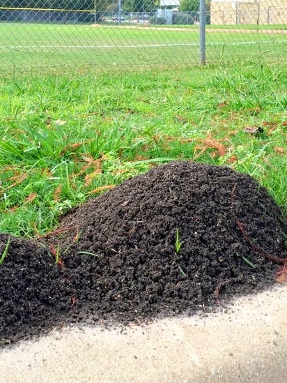 How To Get Rid Of Fire Ants And Leaf Cutter Using Organic Methods Gardening Dallas News