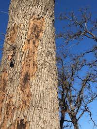 Reader photo of bark coming off of oak tree  GARRETT(Reader photo)