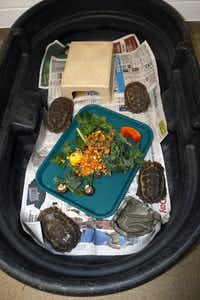 "<p><span style=""font-size: 1em; background-color: transparent;"">These are four of the Home's hinge-back tortoises that were sent to the Dallas Zoo after being confiscated in Miami.</span></p>((Dallas Zoo))"