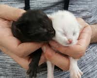 Week-old kittens brought to the shelter Sunday.(Molly DeVoss)