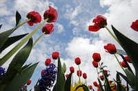 "<p><span style=""font-size: 1em; background-color: transparent;"">How can we help but ogle tulips like these at last year's Dallas Blooms Festival at the Dallas Arboretum?</span></p>Ben Torres/Special Contributor"