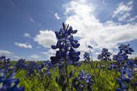 Bluebonnets bloom off Interstate 37 in Corpus Christi in this 2015 photo. Wildflowers have bloomed early this year and could thrive longer thanks to fall and winter rains and warm January-February temperatures.<br>(AP/Corpus Christi Caller-Times<br>)