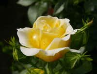 Yellow Brick Road rose from Easy Elegance Roses is a shrub.((National Garden Bureau))
