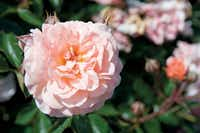 Apricot Drift rose, Star Roses and Plants((National Garden Bureau))