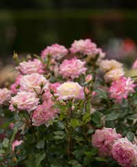 Music Box rose, Easy Elegance Roses((National Garden Bureau))