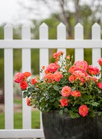 Coral Cove rose, Easy Elegance Roses((National Garden Bureau))