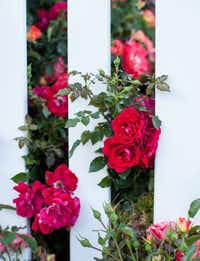 Paint The Town rose, Easy Elegance Roses((National Garden Bureau))