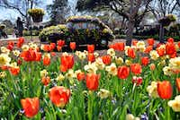 A flower bed of tulips, foreground, and a Volkswagen Beetle, decorated with pansies, violas, and other flowers at the Dallas Blooms: Peace, Love and Flower Power, at the Dallas Arboretum.((Ben Torres/Special Contributor))