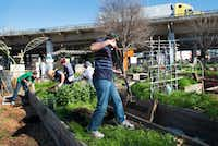 Members of Deep Ellum Urban Gardens work to remove soil from one of the raised beds.((Robert Hart/Special Contributor))