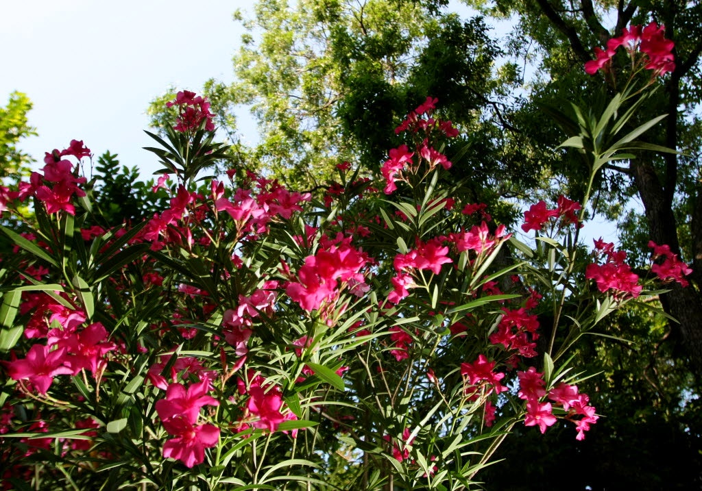 How to get rid of oleander