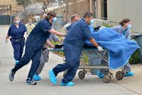 "<p><span style=""font-size: 1em; background-color: transparent;"">Senior veterinarian Dr. Chris Bonar and animal care staffers transport anesthetized gorilla Subira from the gorilla building to the zoo hospital for an examination, accompanied by consulting anesthesiologist Dr. Robert Lyon.</span></p>((Courtesy/Dallas Zoo))"