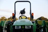 A chicken stands atop a tractor at Bonton Farms off Seagoville Road in Dallas.(Andy Jacobsohn/Staff Photographer)