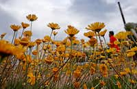 """<p><span style=""""font-size: 1em; background-color: transparent;"""">Flowers in the median on Young Street reach for the sun while dark clouds move out of the area on March 16 in downtown Dallas.</span><span style=""""font-size: 1em; background-color: transparent;"""">&nbsp;(Jae S. Lee/The Dallas Morning News</span></p>"""