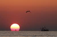 "<p>A Brown Pelican flies as the sun sets next to the Amanda Marie in the Gulf of Mexico on <span style=""font-size: 1em; background-color: transparent;""> May 4, 2010.</span></p>(<p><span style=""font-size: 1em; background-color: transparent;"">(DMN fileAP Photo/The Houma Courier, Matt Stamey)</span><br></p><p></p>)"